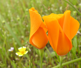 Beautiful golden poppy